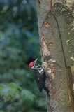 Pileated Woodpecker Holing Out A Nest Art Print