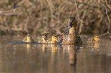 Mallard Hen With Ducklings On The Shore Of Lake Washington Art Print