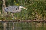 Great Blue Heron stalks for food, Lake Washington, Seattle. Art Print
