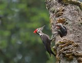 Pileated Woodpecker With Begging Chicks Art Print