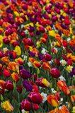 Wind Blows A Field Of Multi-Colored Tulips, Mount Vernon, Washington State Art Print