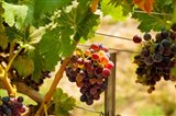 Merlot Grapes In A Vineyard Art Print