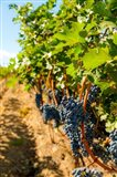 Vineyard Grapes Near Harvest Art Print