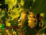 Sauvignon Blanc Grapes Art Print