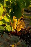 Harvest Time In A Vineyard Art Print
