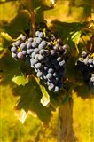 Grenache Grapes In A Columbia River Valley Vineyard Art Print