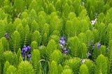 Horsetail, Wild Hyacinth, And Grays Harbor Art Print