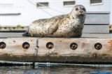 Harbor Seal  Out On A Dock Art Print