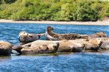 Harbor Seal Gathering At Liberty Bay Art Print