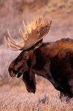 Bull Moose, Grand Teton National Park, Wyoming Art Print