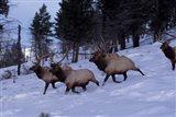 Elk or Wapiti, Yellowstone National Park, Wyoming Art Print