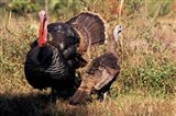 Wild Turkey Tom and Hen Art Print