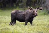 Wyoming, Yellowstone National Park Bull Moose With Velvet Antlers Art Print