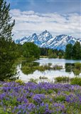 Lupine Flowers With The Teton Mountains In The Background Art Print