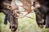 Close-Up Of Two Bull Moose Locking Horns Art Print