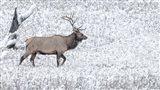 Bull Elk Walks In The Snow Art Print
