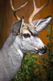 Close-Up Of A Mule Deer Art Print