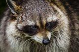 The Raccoon Art Print