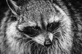 The Raccoon - Black & White Art Print