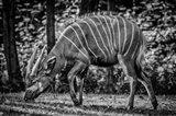 The Deer - Black & White Art Print