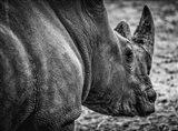 Rhino - Black & White Art Print
