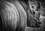 Rhino II - Black & White Art Print