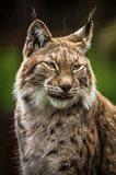 Lynx in the Rain Art Print
