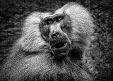 Baboon III Black & White Art Print