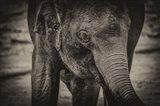 Young Elephant sepia Art Print