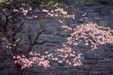Dogwood in Pink Art Print