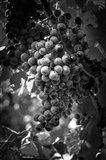 Fruit of The Vine Art Print