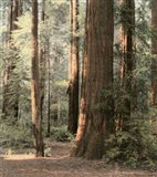 Redwoods 2 Art Print