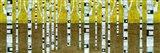 Birches in Fall Art Print