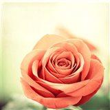 My Perfect Rose Art Print