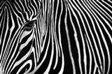 Zebra in Lisbon Zoo Art Print