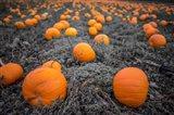 Sea of Pumpkins Art Print
