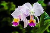 White, Yellow and Fuchsia Orchids Art Print
