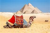 Camel Resting by the Pyramids, Giza, Egypt Art Print