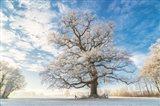Cold Oak Art Print