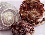 Spiral Shells Art Print