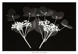 Genus Hydrangea Art Print