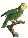 Parrot of the Tropics IV Art Print