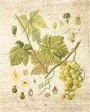 Grapevine II Art Print