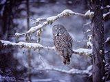 Owl in the Snow II Art Print