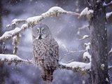 Owl in the Snow III Art Print