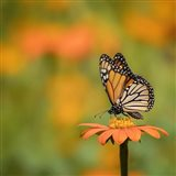 Butterfly Portrait IV Art Print