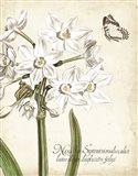 Narcissus Botanique I Art Print