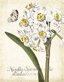 Narcissus Botanique II Art Print