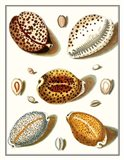 Collected Shells III Art Print