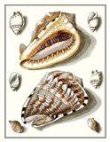 Collected Shells IV Art Print